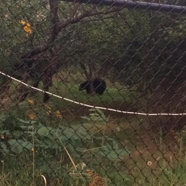 bear jamboroo